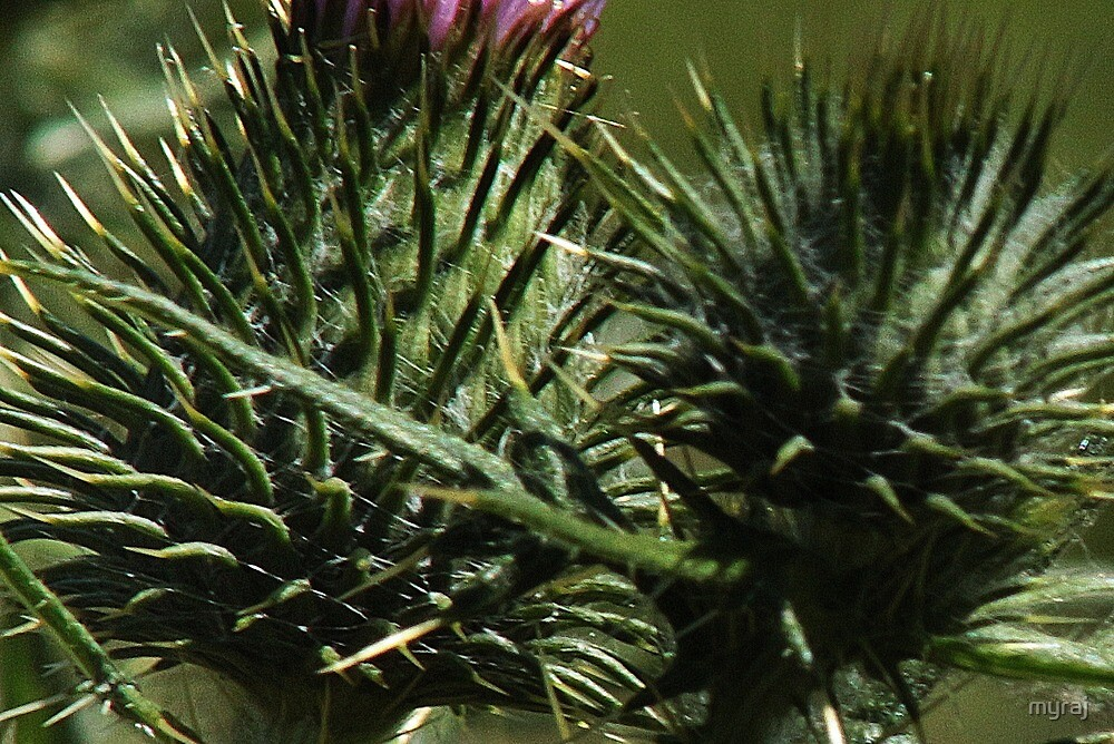 "Thistle make you say ""OUCH"" by myraj"