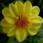Yellow Single Dahlia by AnnDixon