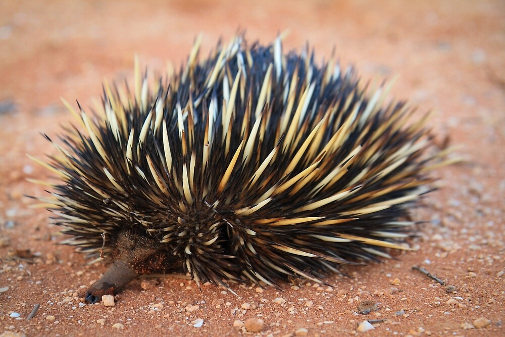 Echidna, great  Australian icon by Marc Russo