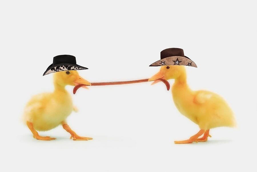 Two ducks wearing cowboy hats 1 by cow-ducks