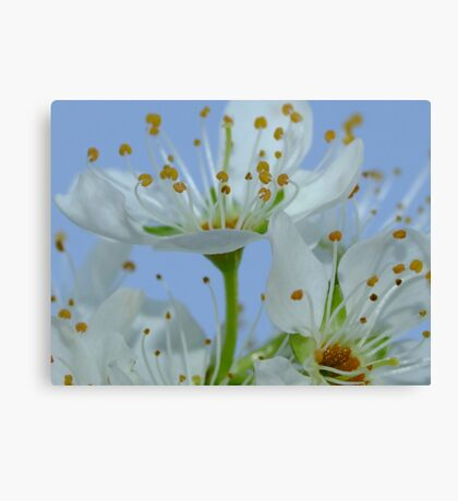 Flowering Plum Canvas Print