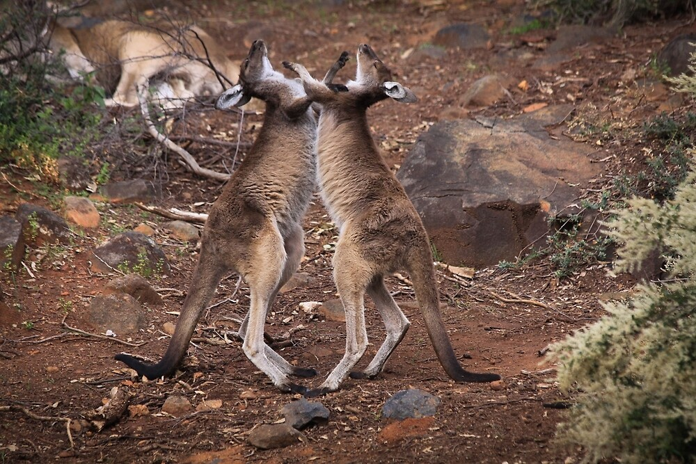 kangaroo's fighting, Perth hill's, Western Australia by Marc Russo