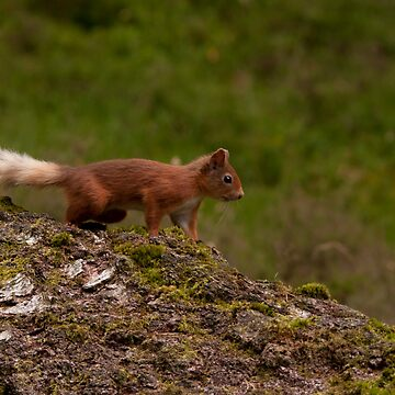 red squirrel by Grandalf