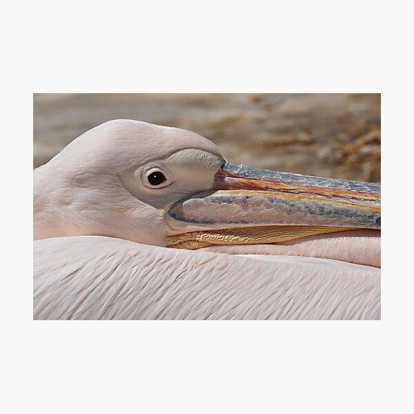 Petros the Pelican Photographic Print
