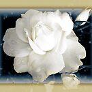 """""""Softly Blushing"""" by Heather Thorning"""