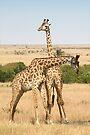 Maasai Giraffes. Males Necking. #3. Maasai Mara, Kenya by Carole-Anne
