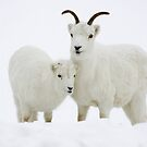 Dall Sheep in Snow by Tim Grams