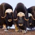 Musk Ox Trio by Tim Grams