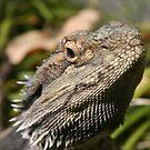 Bearded Dragon... von A1000WORDS