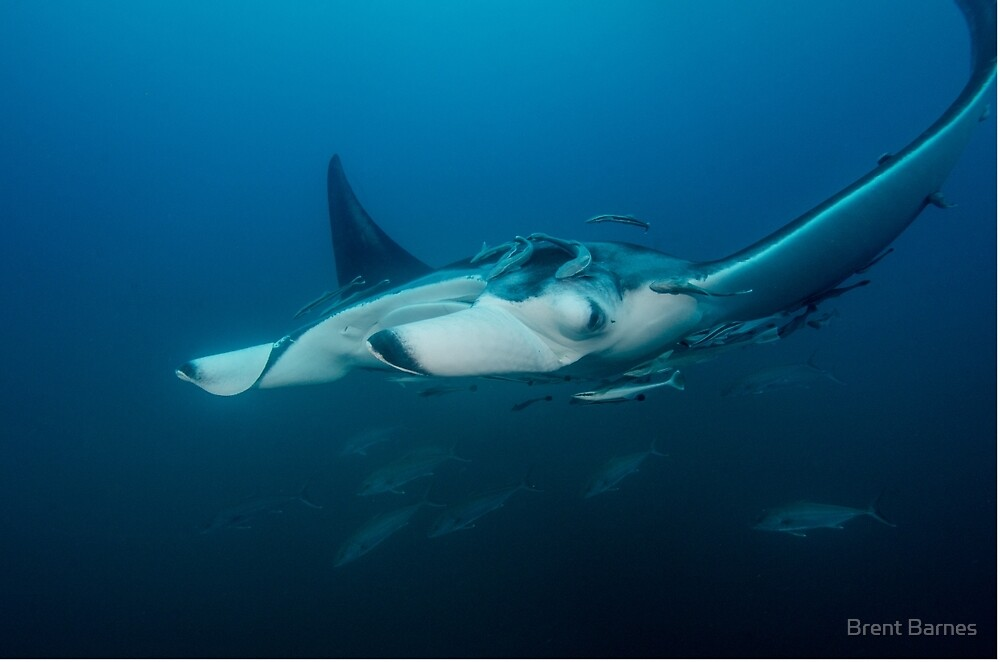 Mant Ray With Remoras by Brent Barnes