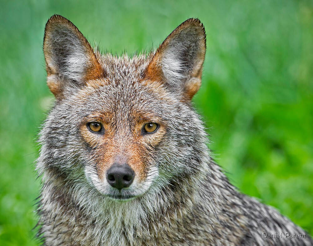 Coyote pretty by Daniel  Parent