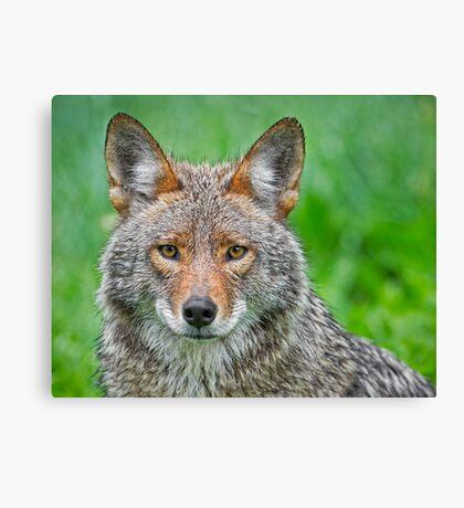 Coyote pretty Canvas Print