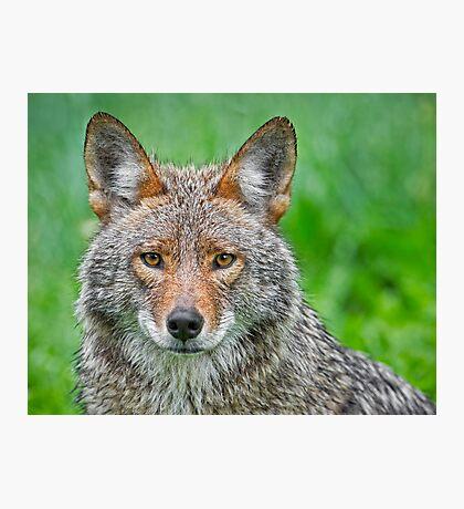 Coyote pretty Photographic Print