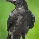A Young Raven by Tim Grams