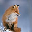 Red Fox in Winter by Tim Grams