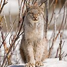 Curious Lynx by Tim Grams