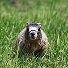 Marmot Pup by Alyce Taylor