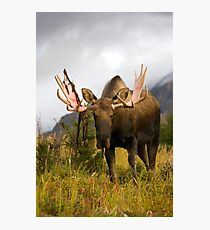 Inquisitive Moose Photographic Print