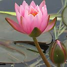 Waterlily with bud by orko