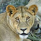 Dominant lioness of the Tsaro pride(What are doing here this is my home!) by Anthony Goldman