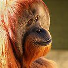 Male Sumatran Orangutan by Paula McManus