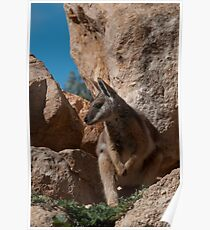 Yellow-Footed Rock Wallaby Poster