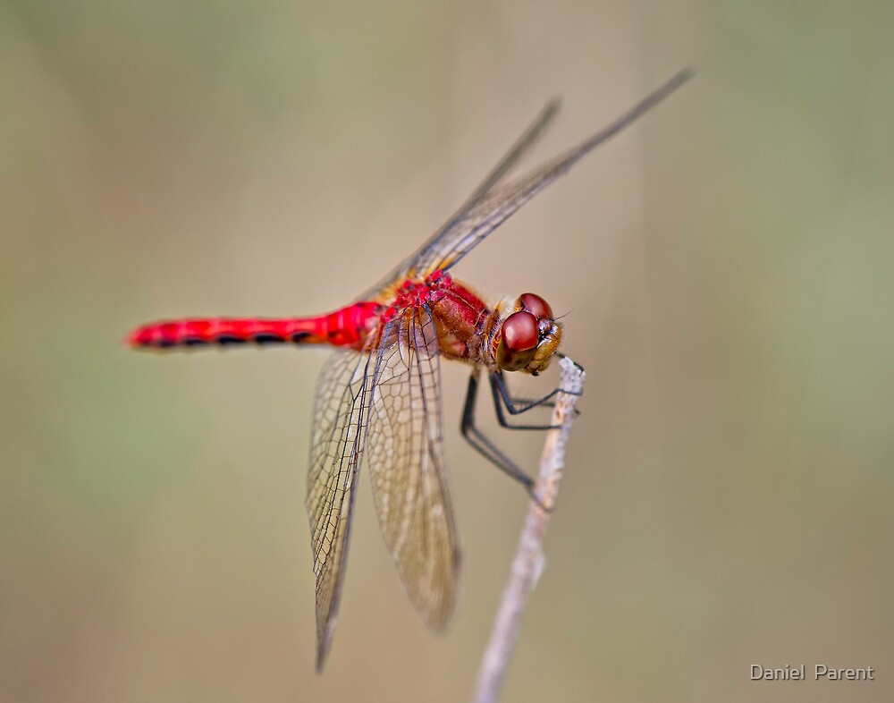 Simply Red by Daniel  Parent