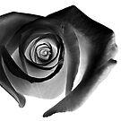 Black Rose by Glennis  Siverson