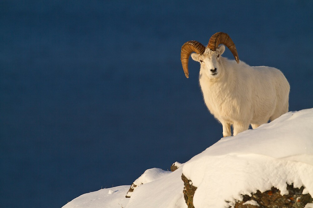 Young Ram on a Quest by Tim Grams