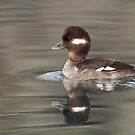 Reflections of a Bufflehead by Tim Grams