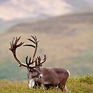 Profile of A Bull Caribou by Tim Grams