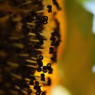 Sun flower macro by yampy