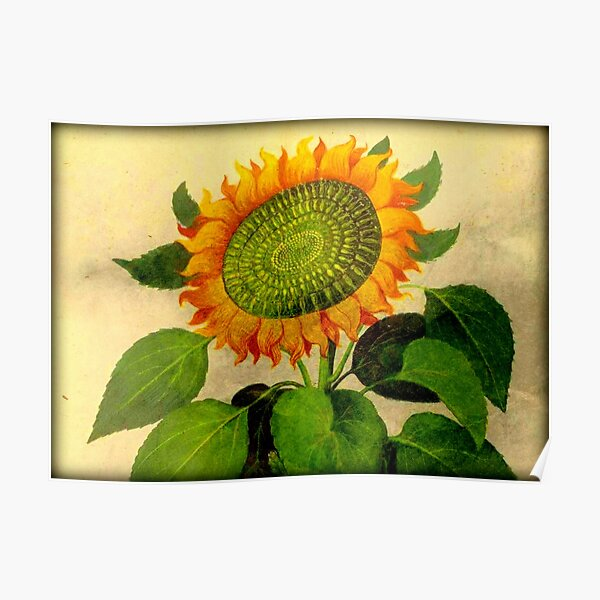 Gorgeous Vintage Botanical Sunflower Poster