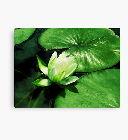 Beautiful Lilypad Canvas Print
