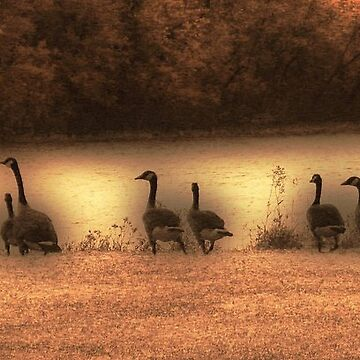 Canada Geese Down by the River by kenspics