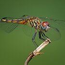 Blue Dasher Dragonfly by Bonnie T.  Barry