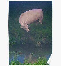 White cow Poster