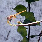 Dragonfly by Samantha Aplin