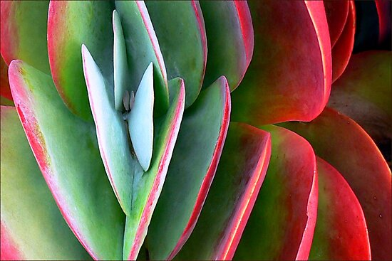 Kalanchoe Aglow  by paintingsheep
