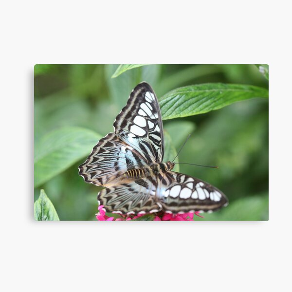 Blue and White Butterfly Canvas Print
