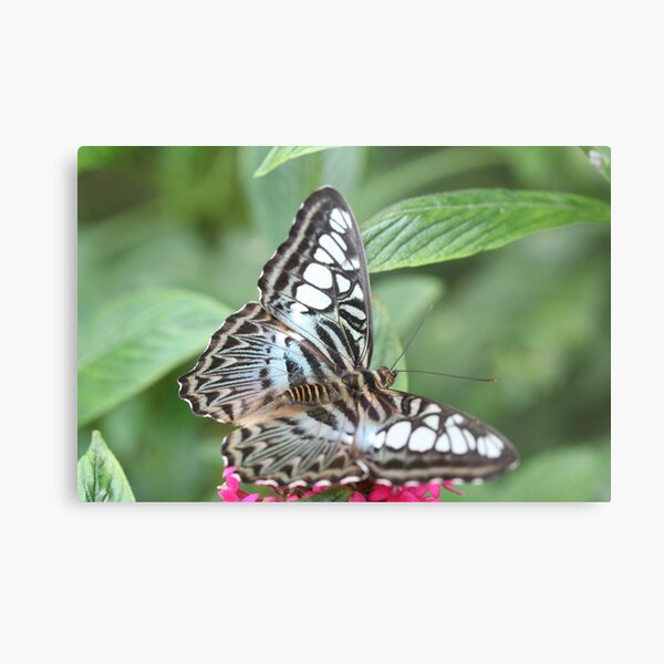 Blue and White Butterfly Metal Print