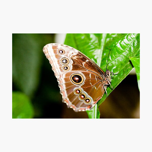 Beautiful Brown Butterfly Photographic Print