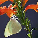 Afrikaanse swerwer - Catopsilia florella - African Migrant by Rina Greeff