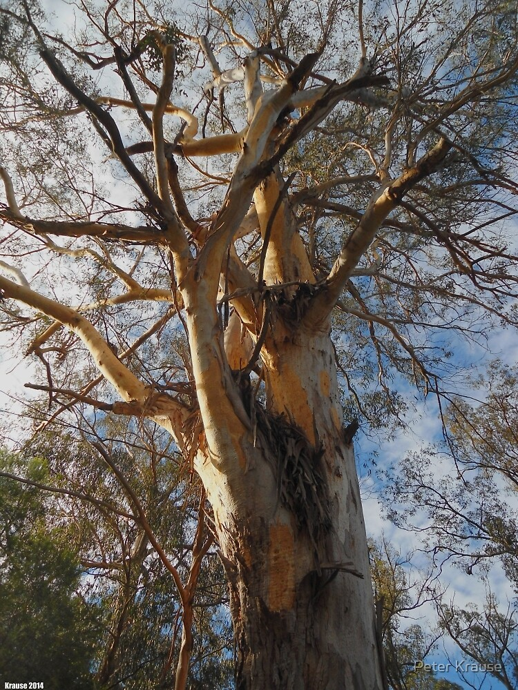 Eucalyptus by Peter Krause