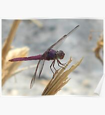 Mauve Dragonfly - the Roseate Skimmer Poster