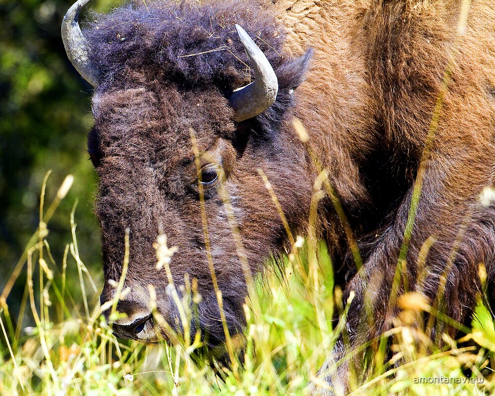 Bison browsing in the afternoon by amontanaview