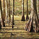 Cypress Swamp in Autumn by Linda Trine