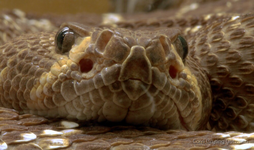 Rattlesnake at CALM by Corri Gryting Gutzman