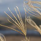 Grasses. by WessexBoy