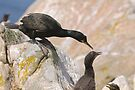 Checking on the chicks, Cormorant, Saltee Islands, County Wexford, Ireland by Andrew Jones